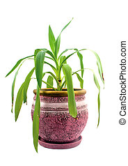 yucca - houseplant - yang sprout of Yucca a potted plant...