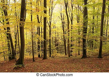 Autumnal beech forest at the beginning of November.