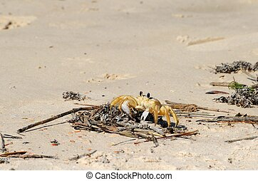 Sand Crab - sand crab on the beach