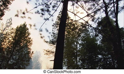 Forest Fire Tilt Down And Pan - Low angle tilt up to trees,...