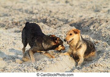 dogs playing on sandy beach - feral dogs playing on sandy...