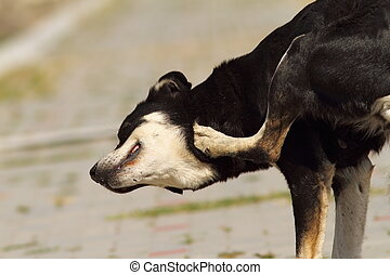 feral dog scratching for ticks and fleas