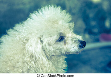 Little poodle dog looking side with vintage tone