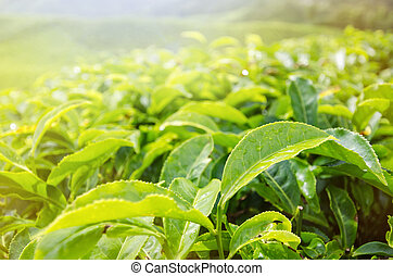 Tea leaves - Close-up of tea leaves in morning sulight