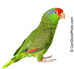 Amazon Parrot - Red Crowned Amazon isolated on white...