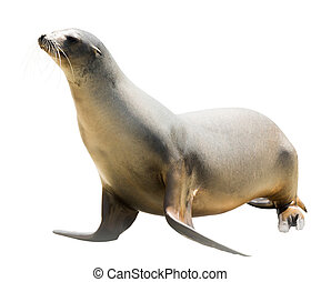 Earless seal Isolated  over white background