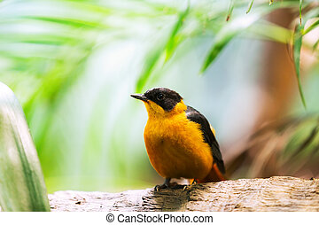 black-naped, oriole, ,