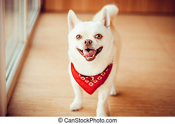 chihuahua - Chihuahua standing on the floor in a red bandana