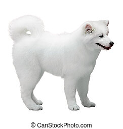 Fluffy white Samoyed dog isolated on white
