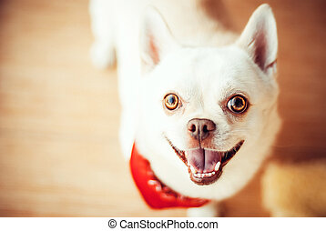 Funny chihuahua - Funny Chihuahua standing on the floor in a...