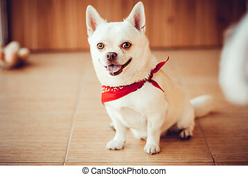 chihuahua - Chihuahua sitting on the floor in a red bandana