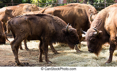 herd of european bisons, also known as wisent