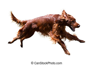 Irish Setter - Running Irish Setter, isolated on white...