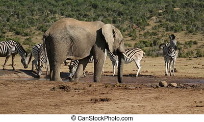 Elephant and zebras at waterhole - An African elephant...