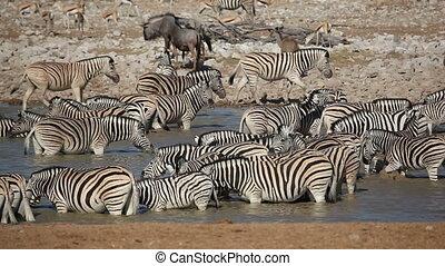 Etosha waterhole - Zebra, wildebeest, springbok and kudu...