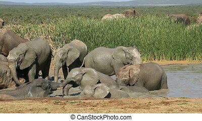 Playful African elephants - African elephants (Loxodonta...