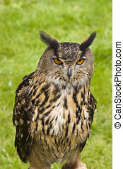 Eurasian Eagle Owl - Close up of a Eurasian Eagle Owl Bubo...