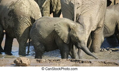 Playful baby African elephant - Playful African elephant...