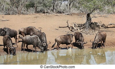 Wildebeest at the waterhole - Herd of blue wildebeest...