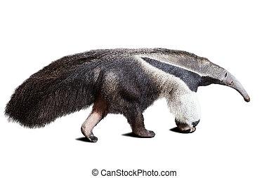 Giant anteater (Myrmecophaga tridactyla). Isolated over...