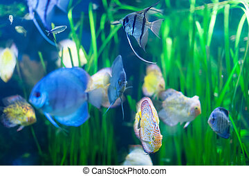 Few discus fish in water