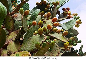 opuntia ficus-indica plant - opuntia ficus-indica prickly...