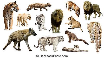 hyena, leopard and other feliformia on white - Set of hyena,...