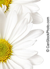 white daisy - daisy isolated on a pure white background