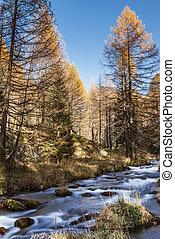 River in the forest, autumn season of Devero Alp - Devero...