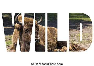 Word WILD Bison - animals that live in nature reserves in...