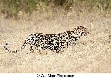leopard hunting - African leopard Panthera Pardus Pardus...