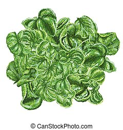 brazilian spinach - unique style illustration of Brazilian...