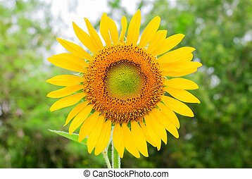 close up of the sunflower plant