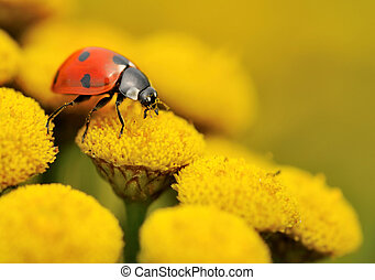 macro of a ladybug on a yellow flower in summer