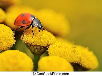 macro, coccinella, giallo, fiore