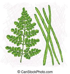 moringa drumstick - unique style illustration of moringa...