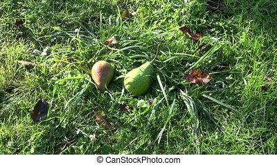 ripe pear fruit falling from tree