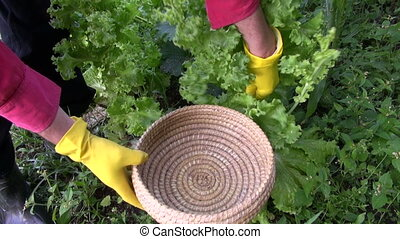 gardener hands pick fresh lettuce - farmer gardener hands...