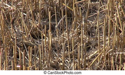 summer end wheat straw stubble after harvesting on farm...