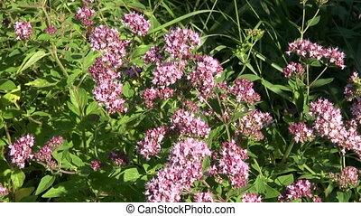 oregano wild marjoram medical herbs - oregano wild marjoram...