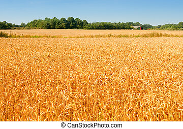 wheat field in Denmark