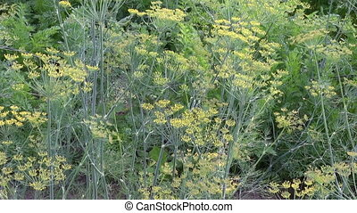 culinary dill herbs in garden and wind background