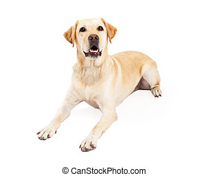 Attentive Labrador Retriever Dog Laying - An attentive...