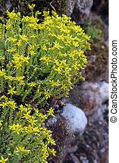 Biting stonecrop, (Sedum acre).