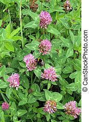 Red clover (Trifolium prstense). - Red clover (Trifolium...