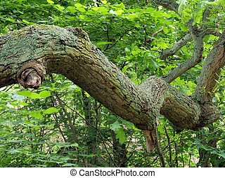 Branch of an oak tree - Branch of an oak tree in a wood in...