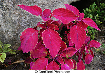 coleus plant - beautiful purple leaves of coleus plant.