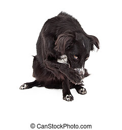 Border Collie Mix Breed Dog Looking Guilty - A Border Collie...