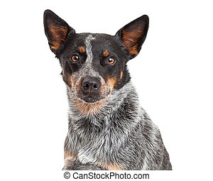 Closeup Of An Australian Cattle Dog - A closeup of a...
