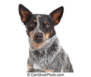 Closeup Of An Australian Cattle Dog - A closeup of a...